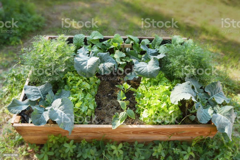 Raised bed with organic vegetable plants in the garden, gardening for healthy food - Royalty-free Agriculture Stock Photo