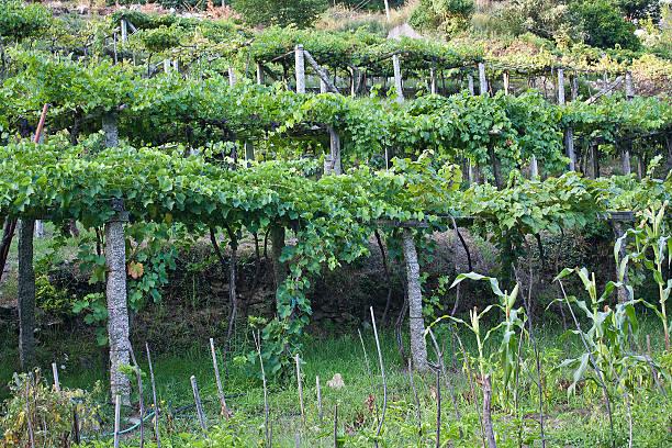 Raised culture of the vine stock photo