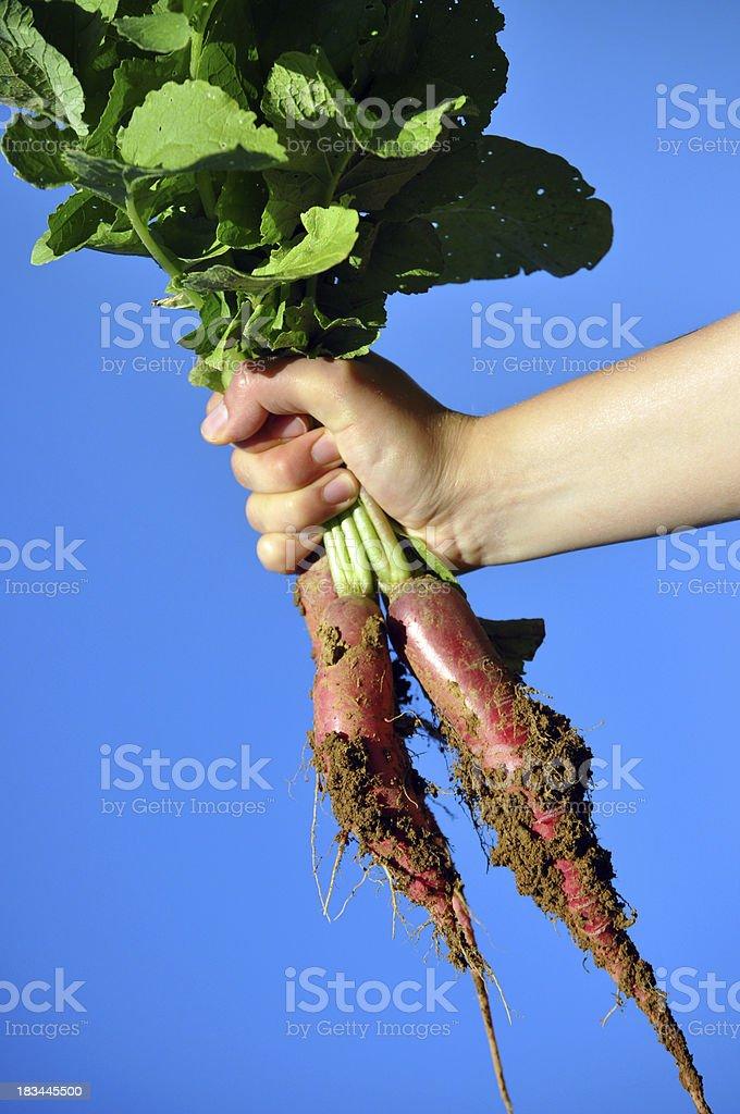 raised radish stock photo