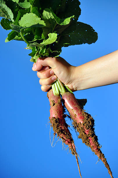 raised radish stock photo