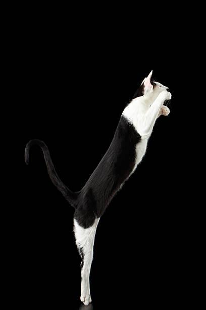 Raising up black and white oriental cat isolated on black picture id509295170?b=1&k=6&m=509295170&s=612x612&w=0&h= wevvt61 4inekgorv6fxfz6tk8qjrqthrc6w7tmn0i=
