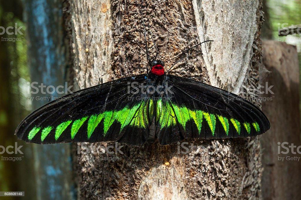 Rainha cristãos das Filipinas, Rajah Brooke de Borboleta Asa-de-(Trogonoptera brookiana) na Malásia - foto de acervo