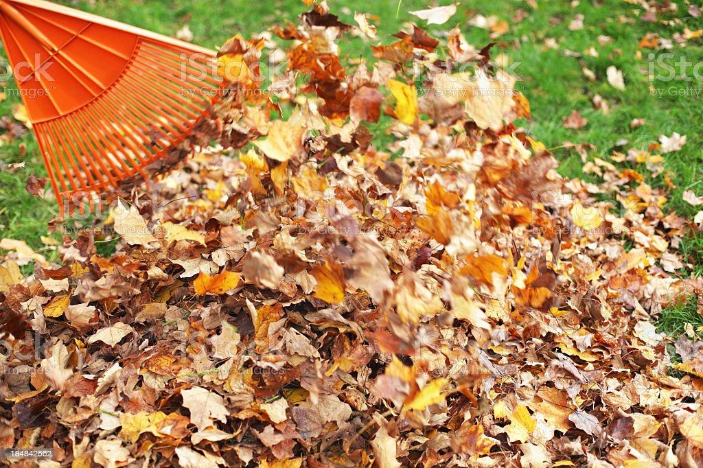 Raking Autumn Sugar Maple Leaves stock photo