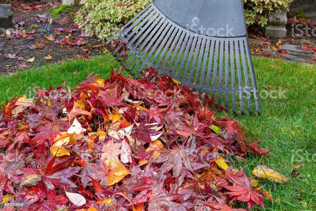 Raking red maple leaves fallen on green lawn in garden yard during autumn season stock photo