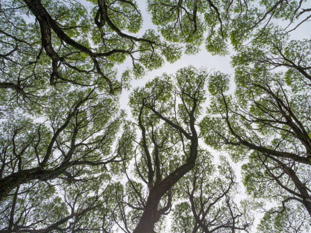 Rakita White Ракита белая - деревья из семейств ивовых весной fractal stock pictures, royalty-free photos & images