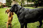 A beautiful dachshund