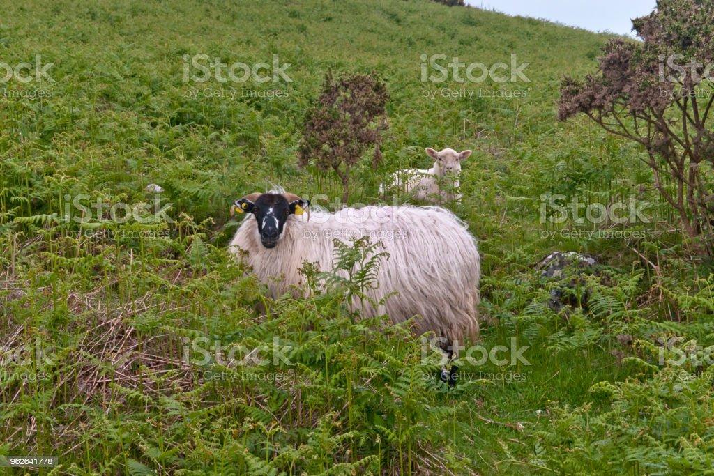Ram and Lamb in pasture stock photo