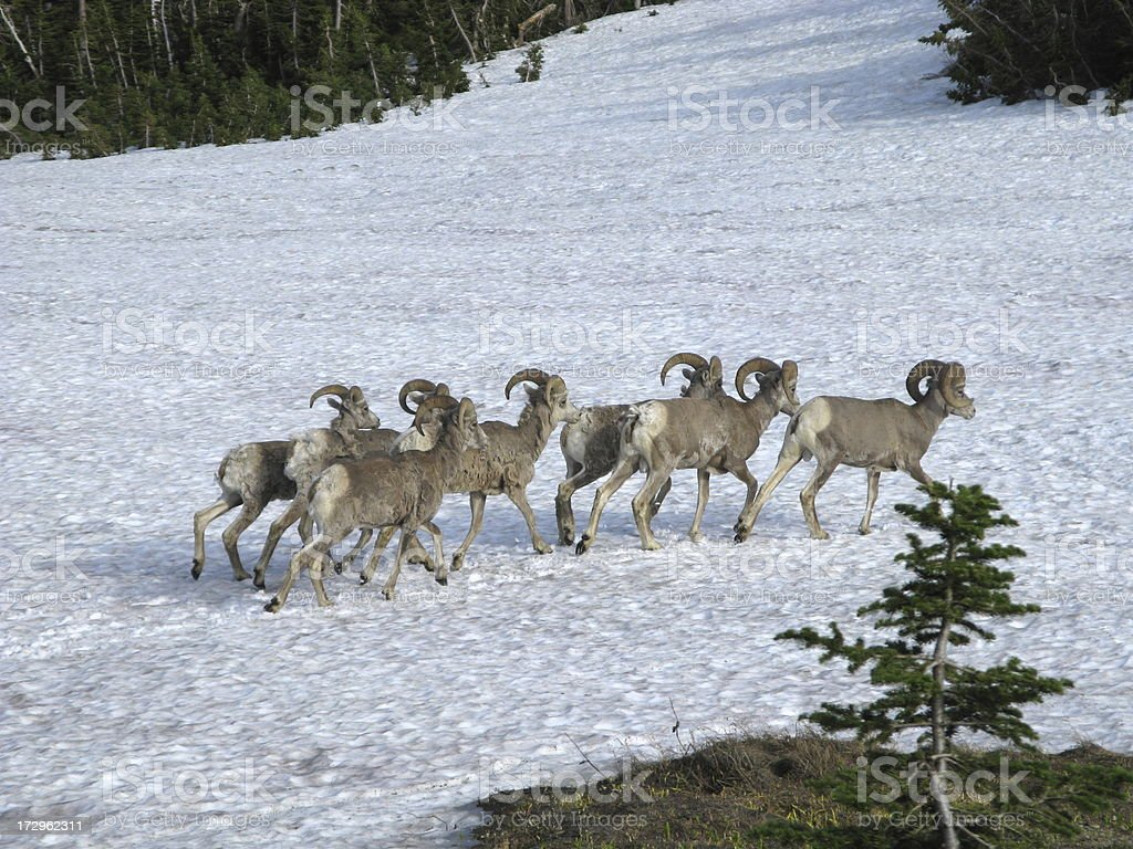 Ram Bighorn Sheep  Herd Winter royalty-free stock photo