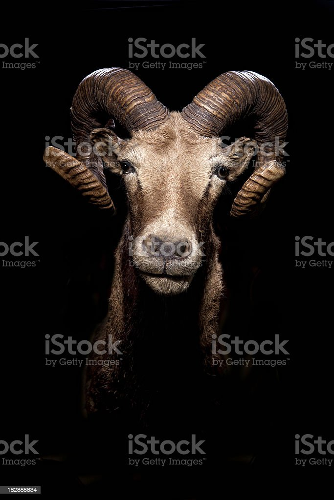 Ram Goat Head stock photo