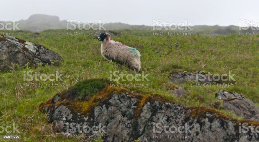Ram in profile  on Slieve Foy stock photo