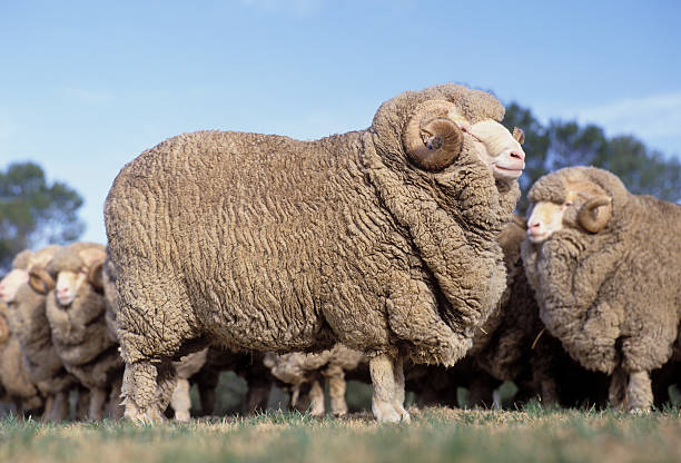 ram Stud Merino rams. merino sheep stock pictures, royalty-free photos & images
