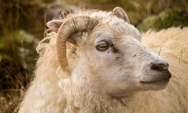 Ram stock photo