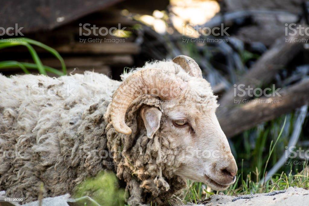 Ram - Lizenzfrei Agrarbetrieb Stock-Foto