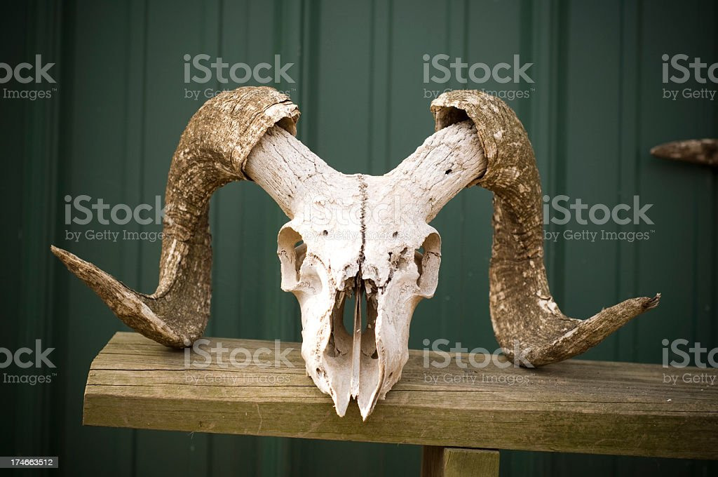 Ram Skull royalty-free stock photo