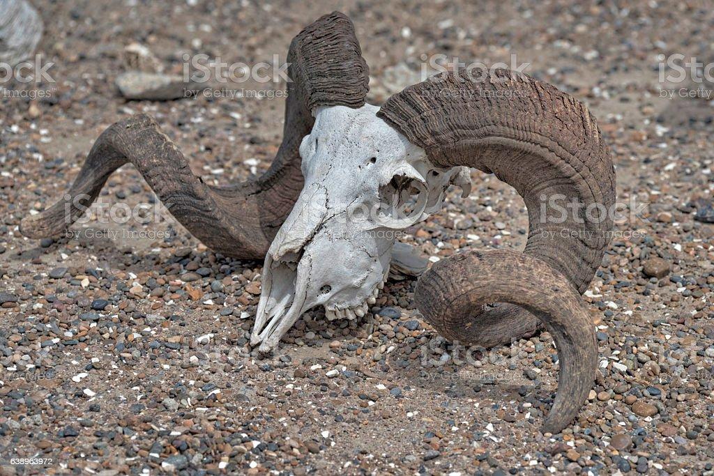 Ram skull stock photo