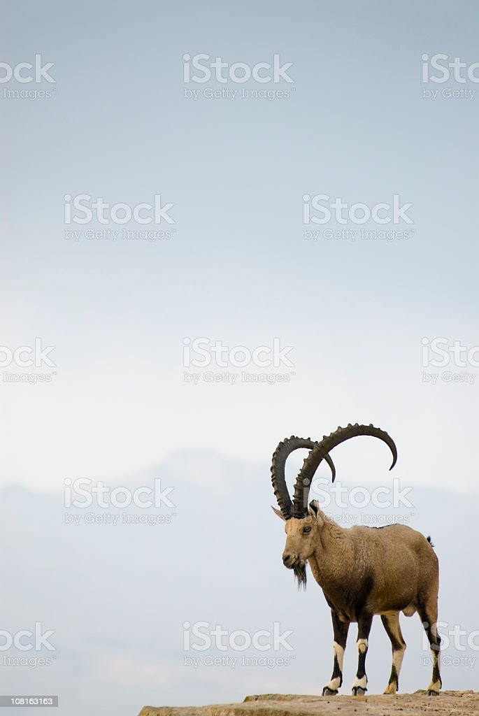 Ram Tough royalty-free stock photo