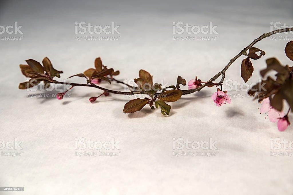 rama de ciruelo stock photo