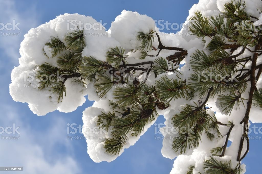 Rama nevada - foto de stock