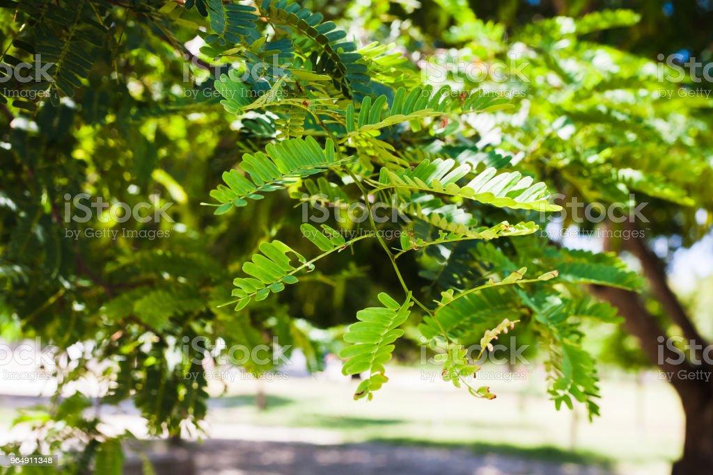 rama y hojas del árbol de la moringa royalty-free stock photo
