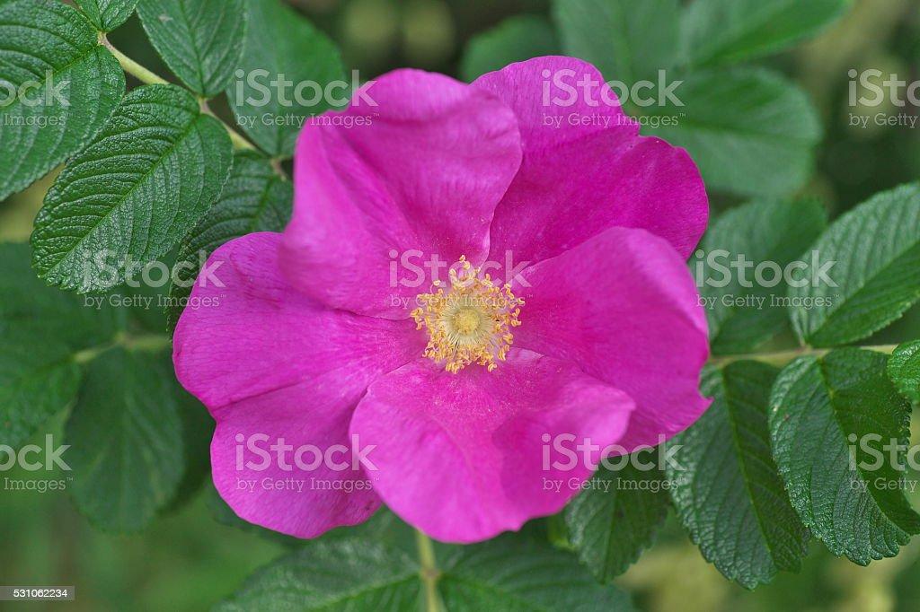 Ramanas rose stock photo