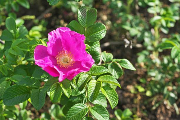 Ramanas rose – Foto