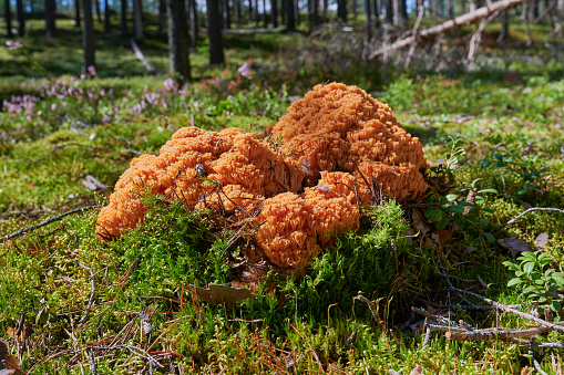 Ramaria Botrytis, commonly known as cluster coral, pink-tipped coral mushroom, or cauliflower coral, is an edible species of coral fungus in the family Gomfova, growing on grass in the forest