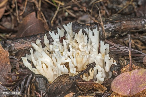Ramariopsis kunzei is an edible species of coral fungi in the Clavariaceae family. It is commonly known as white coral mushroom. Armstrong Redwoods State Natural Reserve.
