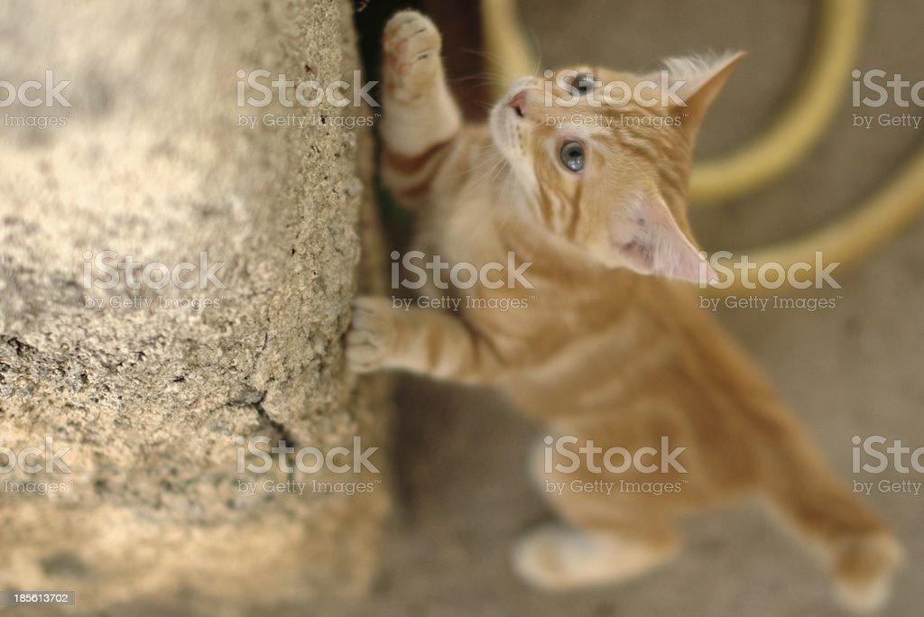 Rampant cat royalty-free stock photo