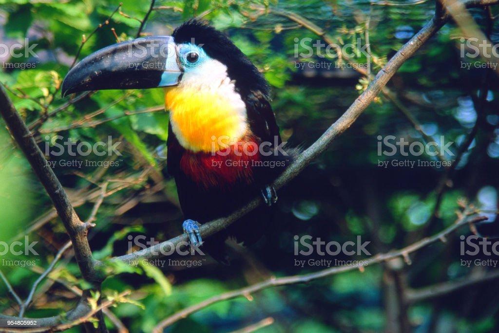 Ramphastos vitellinus - Tucano beccoscanalato - foto stock