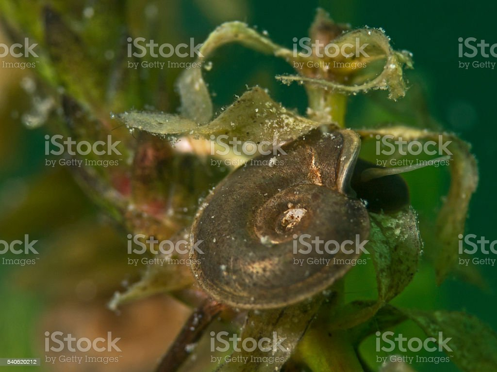 Ramshorn snail, Posthornschnecke (Planorbarius corneus) stock photo