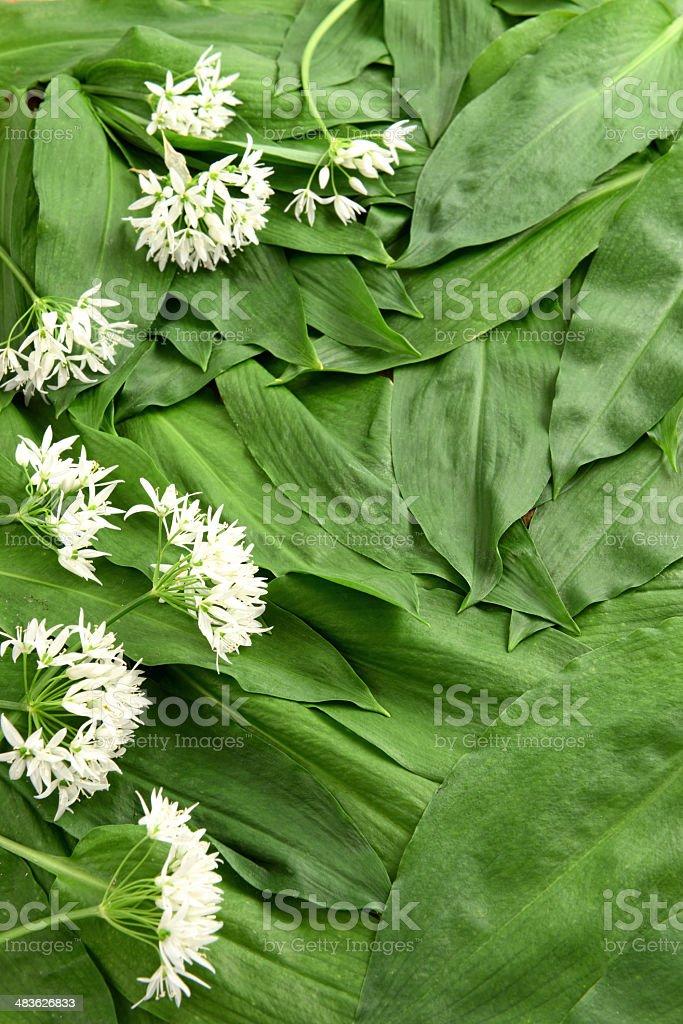 ramsnon leaves (Allium ursinum) stock photo