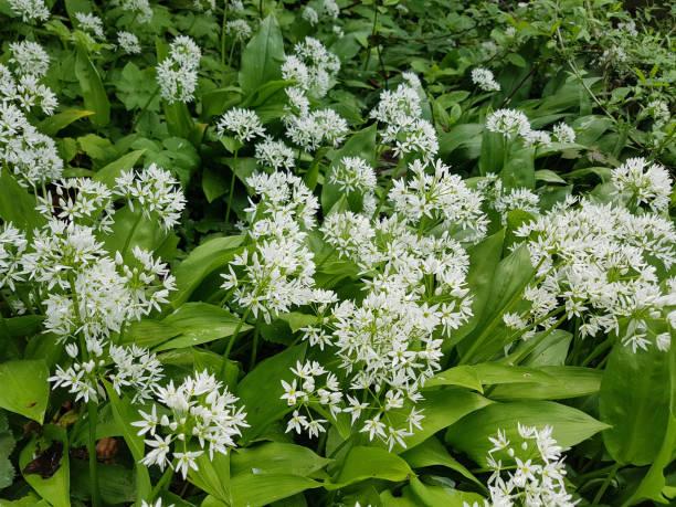 Ramson, Allium, Ursinum – Foto