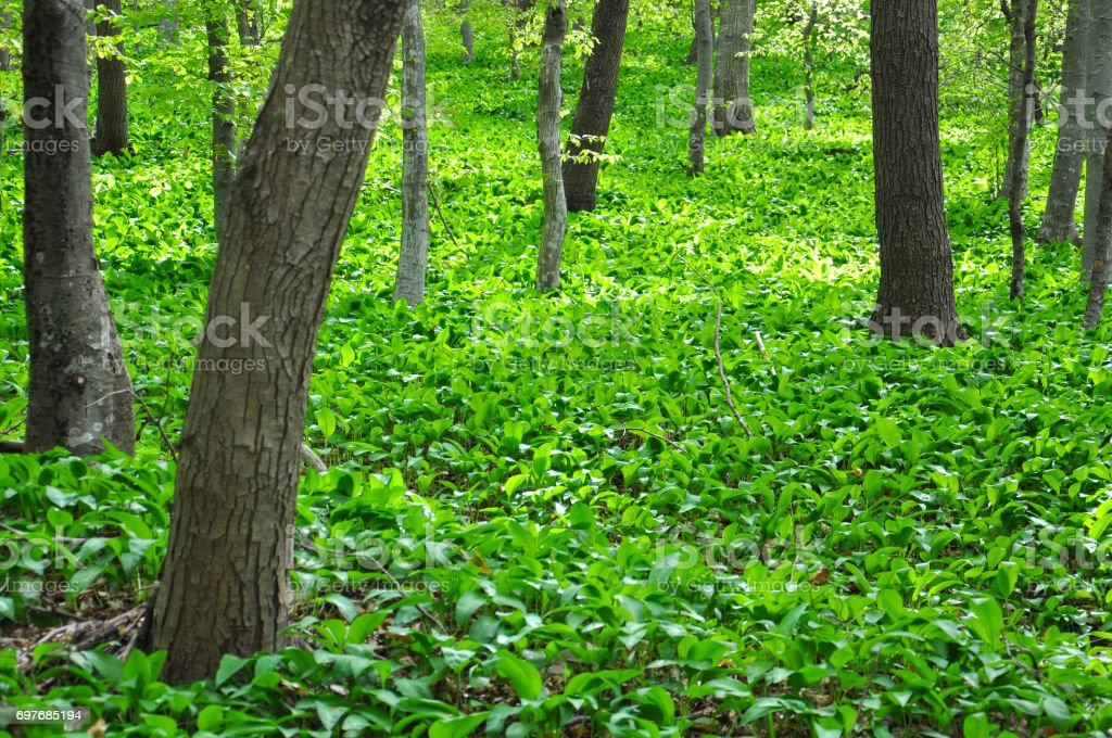 Ramson field under a mountain. Green floor in the woods stock photo