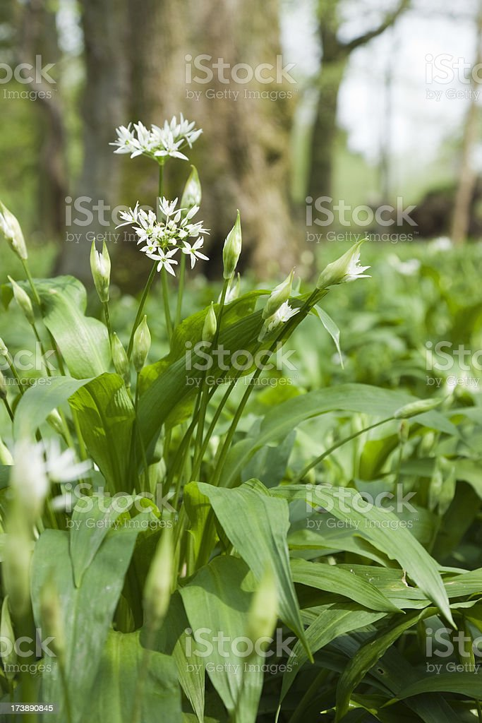 Ramson - Wild Garlic stock photo