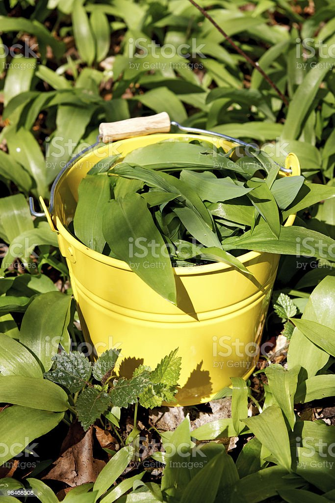 Ramson / Wild garlic royalty-free stock photo