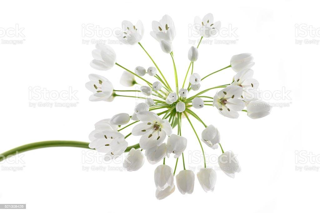 Ramsons flowers stock photo