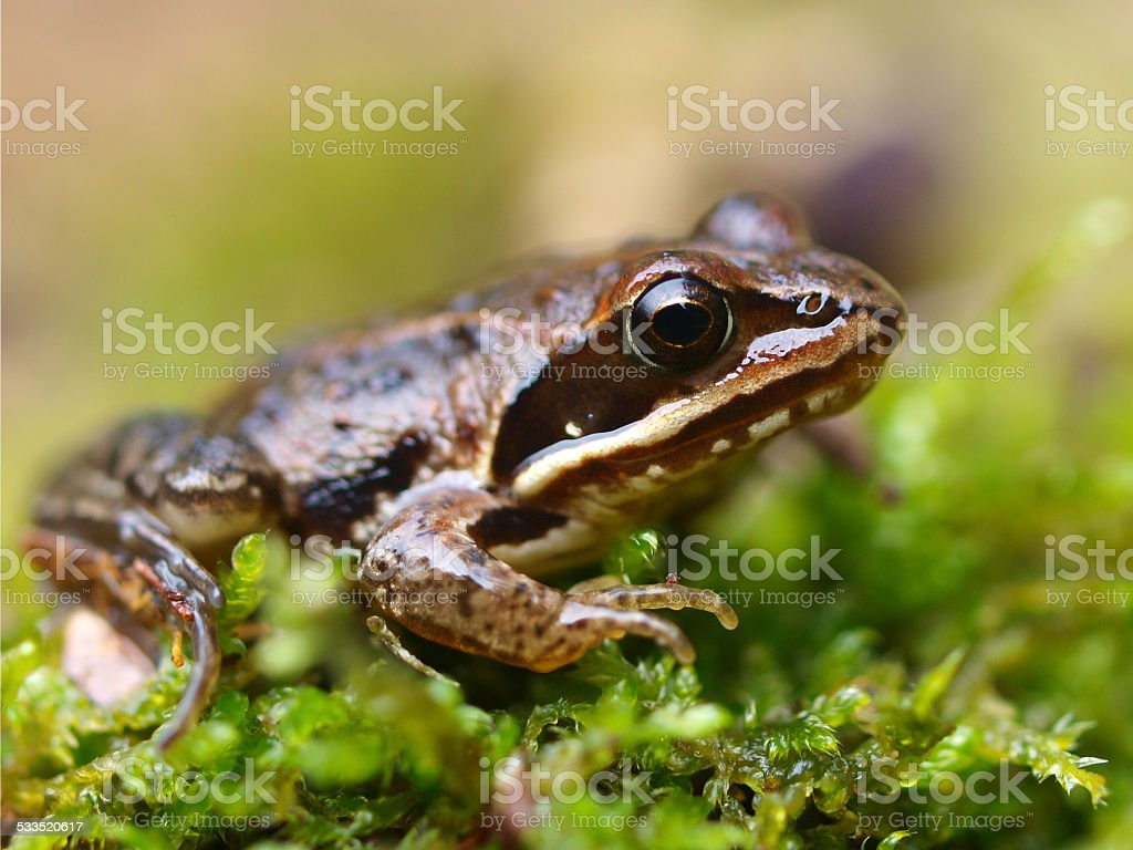 Rana arvalis, Europan Moor Frog stock photo