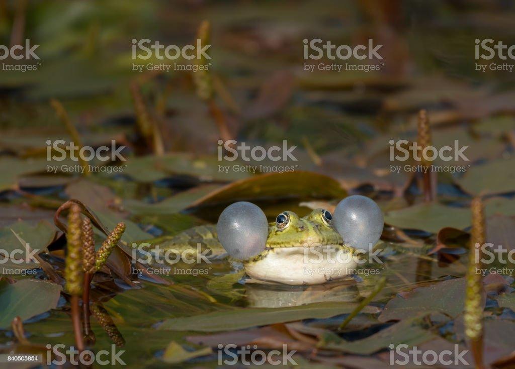 Rana ridibunda calling in a pond in Croatia stock photo