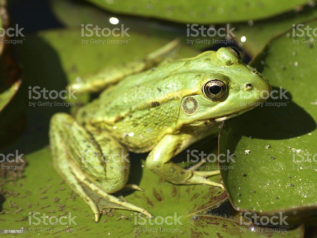 Rana verde stock photo