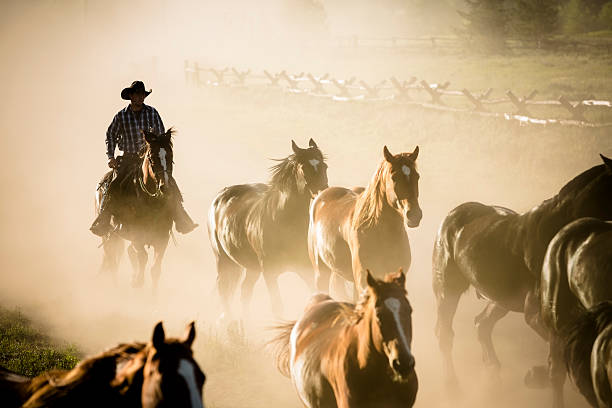 Ranch: Herd of horses being rounded up by cowboy. cowboy bring in herd from pasture in the early morning light.   paint horse stock pictures, royalty-free photos & images