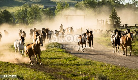 Cowboy wranger bring in herd in early morning light.