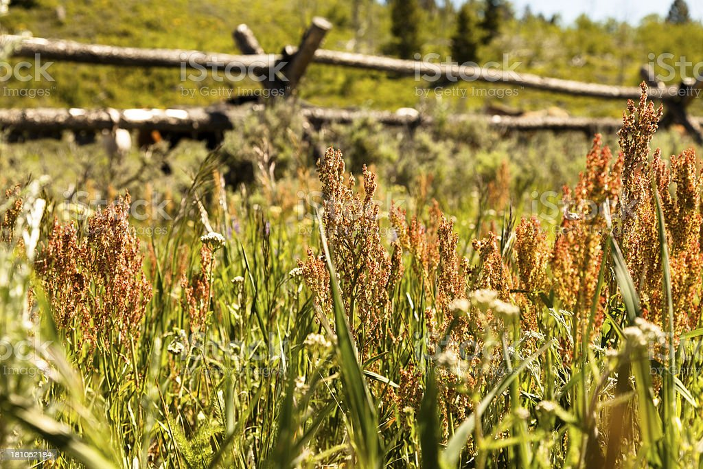 Ranch: Weeds growing in sunny pasture. Wooden rail fence stock photo