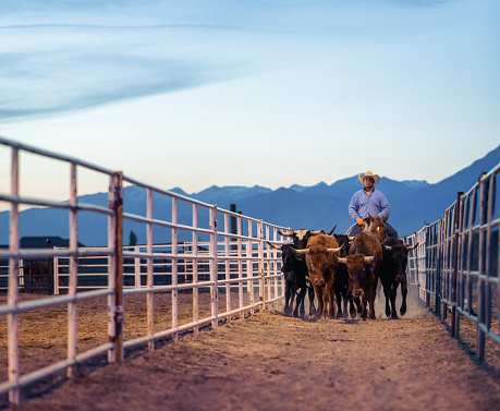 A rancher on horseback moves a group of steers at night, in Utah USA.