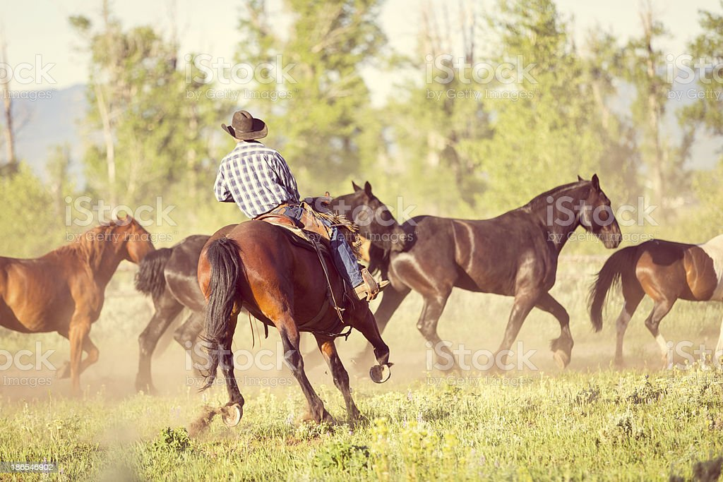 Rancher driving horses in to corral on summer day stock photo