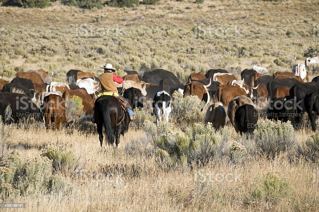 Rancher follows a herd of cattle in New Mexico royalty-free stock photo
