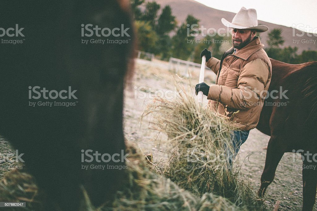 Rancher shovels hay to feed horses in western pasture stock photo