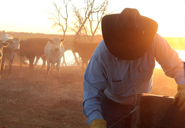 Rancher with a cowboy hat works on fence in front of cattle farmer or rancher wearing cowboy hat getting ready to feed a herd of mixed breed cattle at a farm pond located in a winter wheat field. Horizontal agriculture image.  rancher stock pictures, royalty-free photos & images
