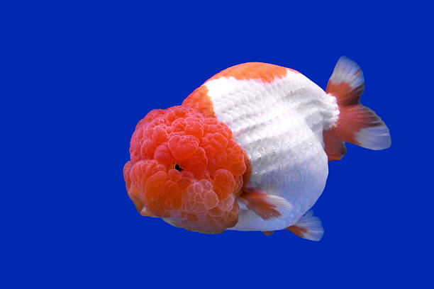 Best Ranchu Goldfish Stock Photos, Pictures & Royalty-Free