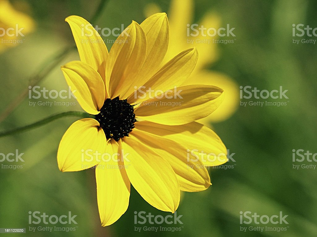 Random Wildflower royalty-free stock photo