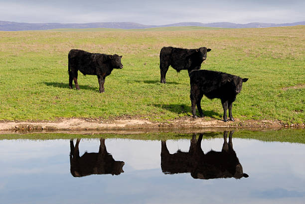 Range Cows Reflection stock photo